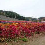 中富良野町営ラベンダー園