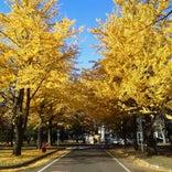 北海道大学 イチョウ並木