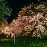 お達磨の桜公園