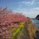 河津桜並木