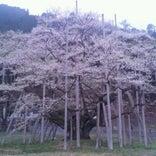 根尾谷 淡墨桜