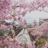 淀緑地(淀水路の河津桜並木)