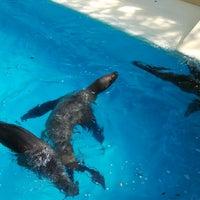 3/18/2013 tarihinde Amanda P.ziyaretçi tarafından California Sea Lions Pool'de çekilen fotoğraf