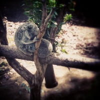3/25/2013 tarihinde Ryan B.ziyaretçi tarafından Koala Exhibit'de çekilen fotoğraf