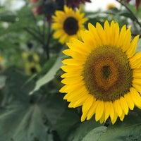 Photo taken at Lyman Orchards Sunflower Maze by Telan N. on 8/12/2017