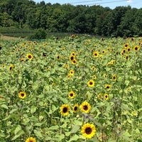 Photo taken at Lyman Orchards Sunflower Maze by Jen G. on 8/11/2013