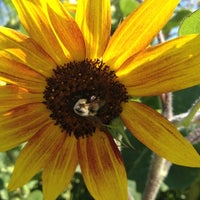 Photo taken at Lyman Orchards Sunflower Maze by Kayce W. on 8/26/2012