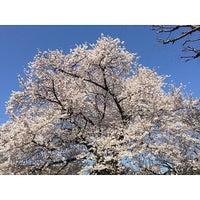 Photo taken at 桜樹広場 by Shingo M. on 4/2/2015