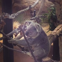 6/23/2013 tarihinde Brian G.ziyaretçi tarafından Koala Exhibit'de çekilen fotoğraf