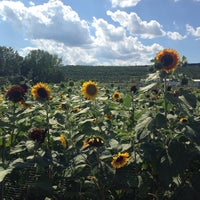 Photo taken at Lyman Orchards Sunflower Maze by Rachel S. on 8/2/2015