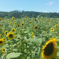 Photo taken at Lyman Orchards Sunflower Maze by Zhen on 8/11/2013