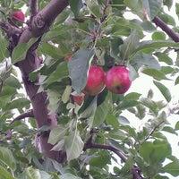 Beignets aux pommes charbonneau