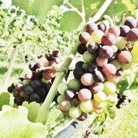 Foto scattata a Vinoteca PISONI - Azienda Agricola BIOLOGICA da mag m. il 8/6/2014
