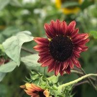 Photo taken at Lyman Orchards Sunflower Maze by Sashika D. on 8/12/2017