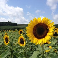Photo taken at Lyman Orchards Sunflower Maze by Wang H. on 8/5/2012