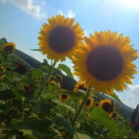 Photo taken at Lyman Orchards Sunflower Maze by Saba C. on 8/4/2012