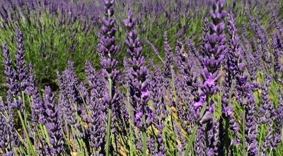 Photo of Field Plateau De Valensole at France