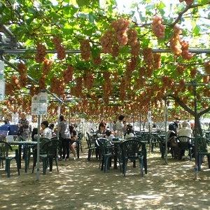 観光農園風景その1 in坂上ぶどう園