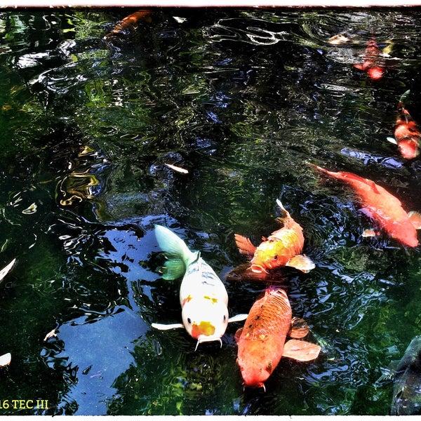 Selby gardens koi pond zoo exhibit in sarasota for Koi pool santa