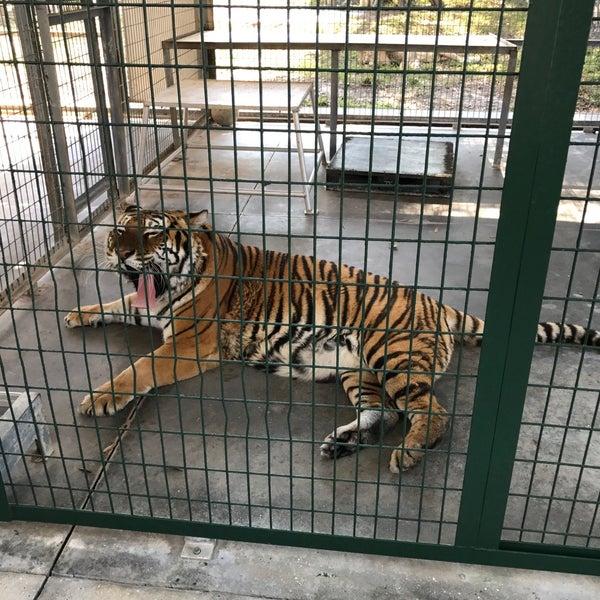 Big Cats Habitat Sarasota Fl