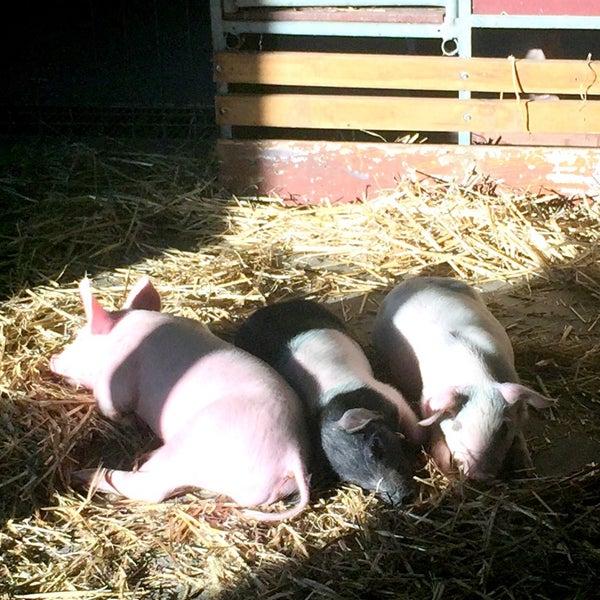Photo Taken At Pig Amp Goat Pavilion By Pamela L On 3 19