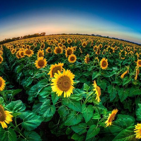 sunflower fields 2 by - photo #15
