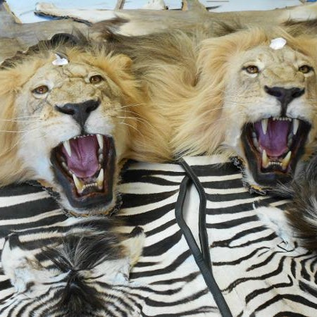 photos at t basix taxidermy rugmaking carpet store in tucson