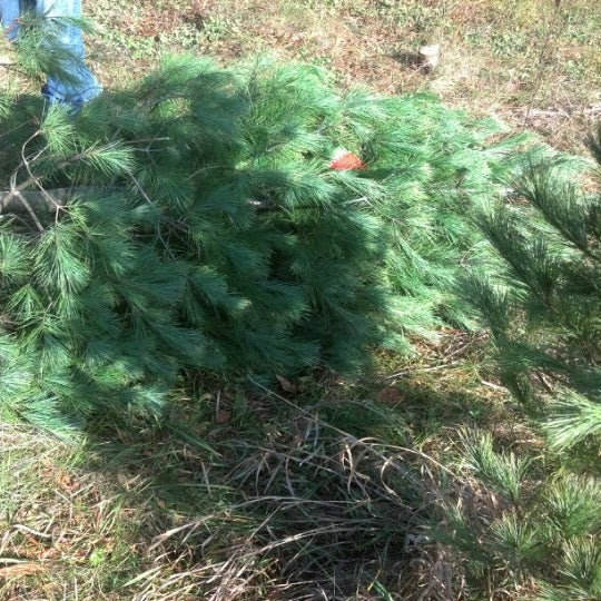 Photos at Utzig\'s Tannenbaum Acres - Janesville, WI