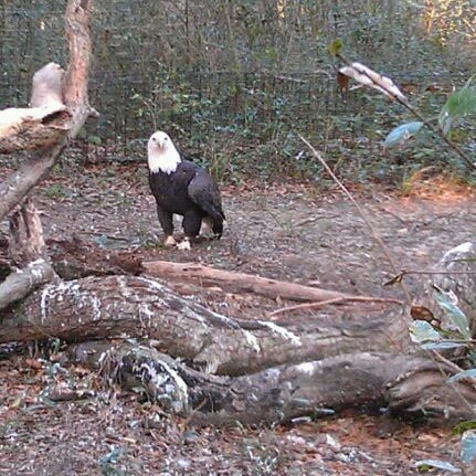 Bald Eagle Exhibit Brookgreen Garden Zoo Waccamaw Sc