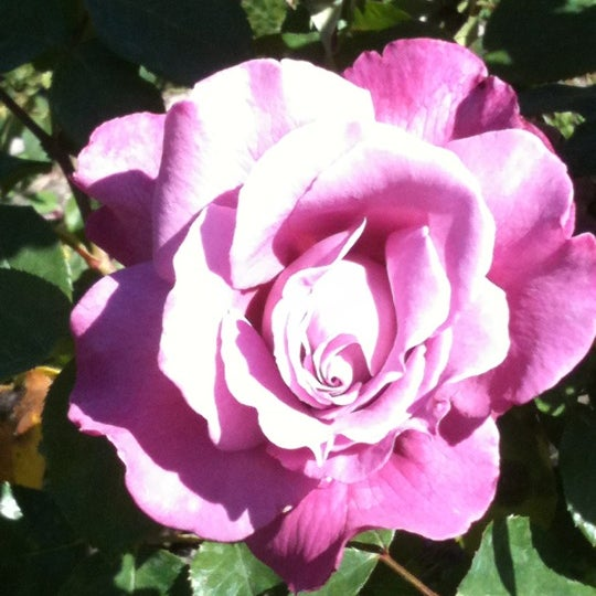 Roses In Garden: Photos At San Jose Municipal Rose Garden