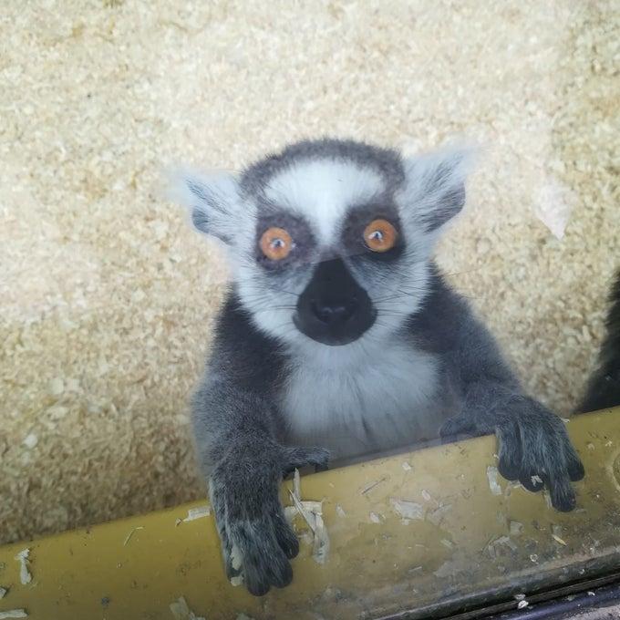 lemūrs ēlandes zoo