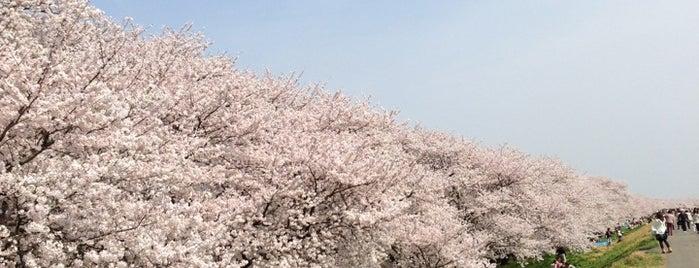 熊谷桜堤 is one of 景色◎.