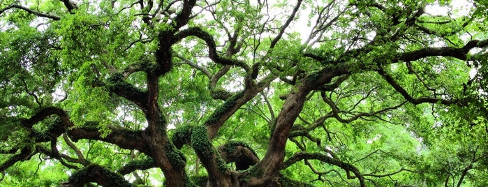 Angel Oak Tree is one of Favorites in Charleston.