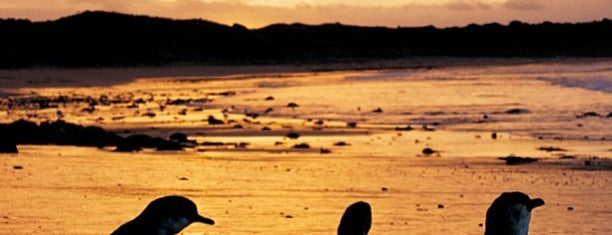 Phillip Island Penguin Parade is one of Great Family Holiday Attractions Around Australia.