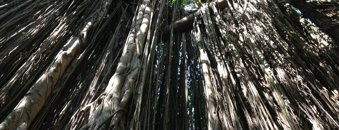 Banyan Tree is one of India places to visit.
