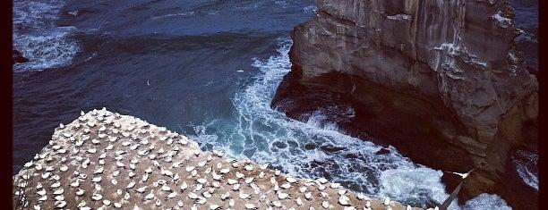 Muriwai Beach Gannet Colony is one of New Zealand.