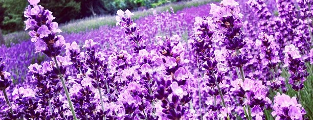 Lavender By the Bay - New York's Premier Lavender Farm is one of East Marion Weekend.
