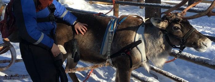 Arctic Reindeer Farm is one of Rovaniemi in 5 days!.