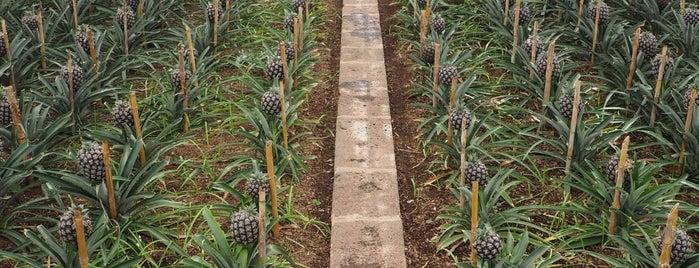 Arruda Açores - Plantação de Ananáses is one of Azoren.