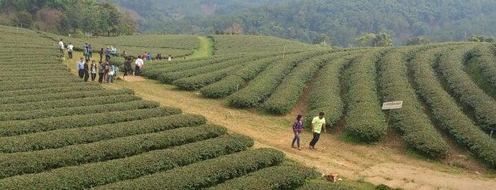 Tea 101 Plantation is one of Chaing rai temple.