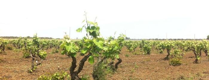 Cantele Vini is one of Cantine Aperte Puglia 2012.