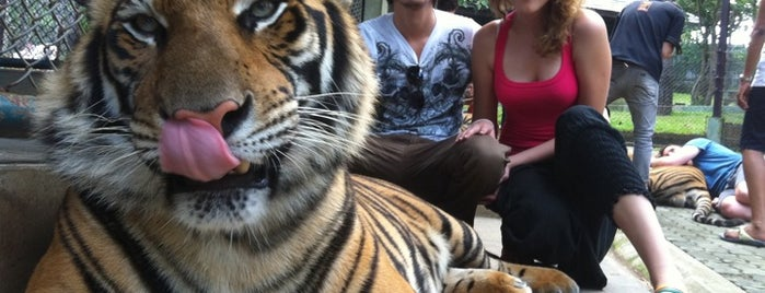 Tiger Kingdom is one of Greater Chiang Mai.
