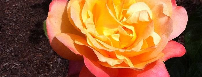 International Rose Test Garden is one of Exploring Portland, Oregon.