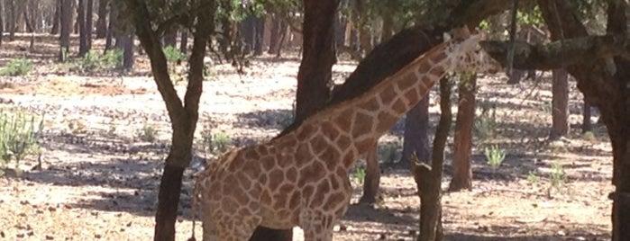 Badoca Safari Park is one of Passeios giros.