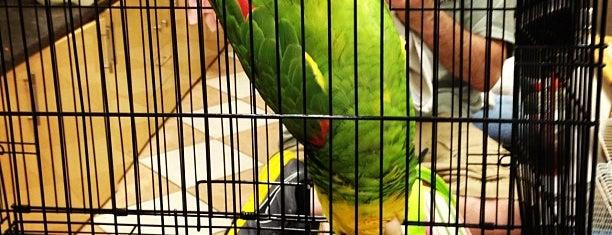 Golden Cockatoo is one of Avian.