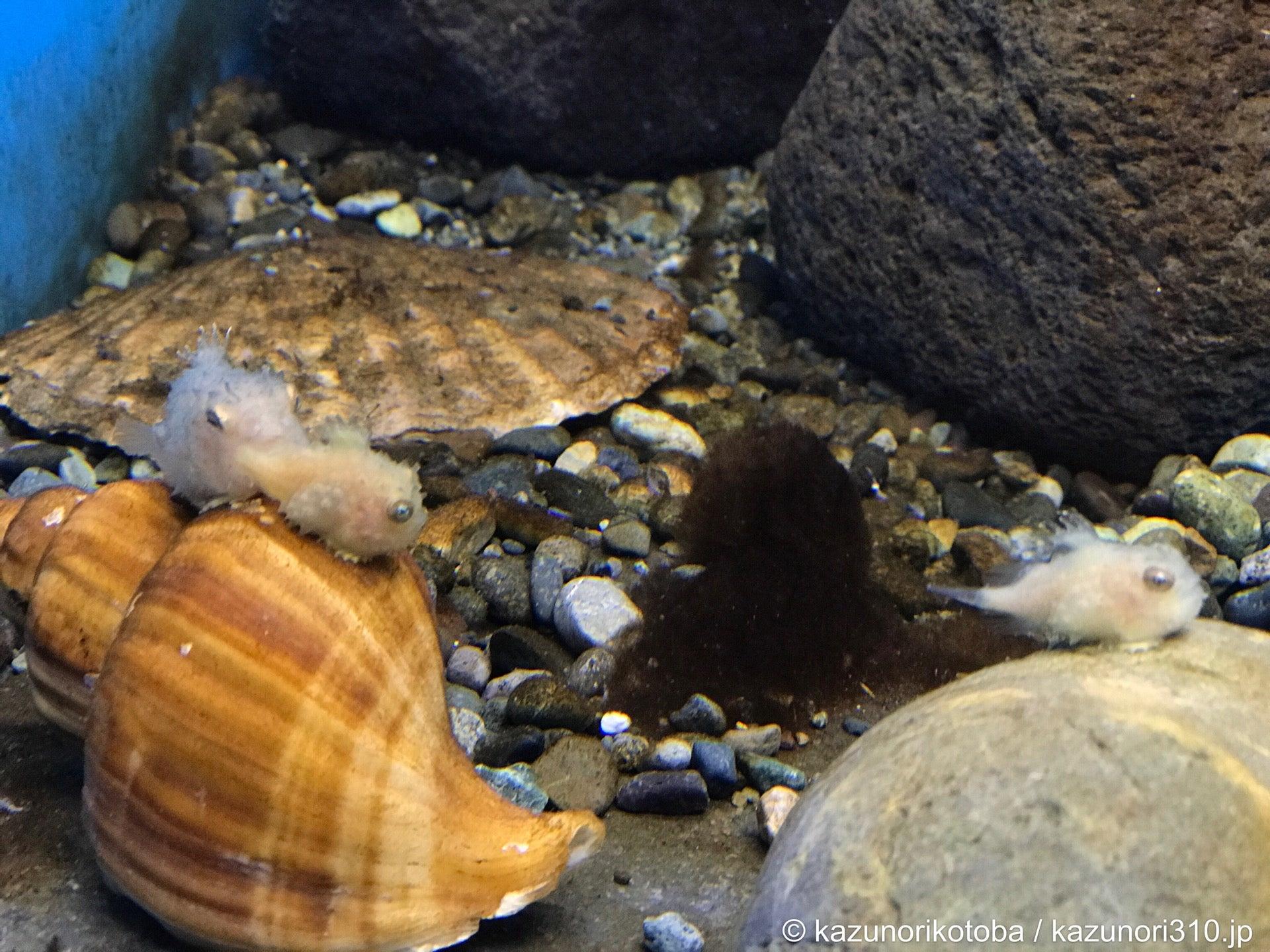 ナメダンゴ at 仙台うみの杜水族館