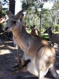 Lone Pine Koala Sanctuary_9