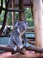 Lone Pine Koala Sanctuary_10