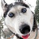 snow-wolf-113477239