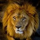 Pascal Lion